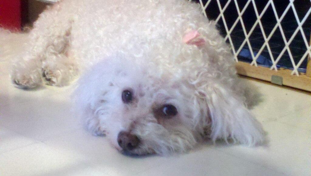 Sad white poodle