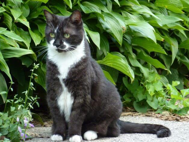 Tuxedo cat outdoors