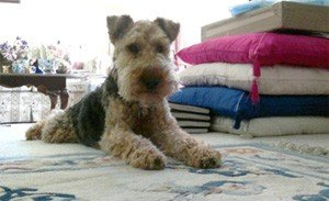 Toby, the Welsh Terrier looking cute at home