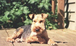 Toby the Welsh Terrier on the deck enjoying the sun