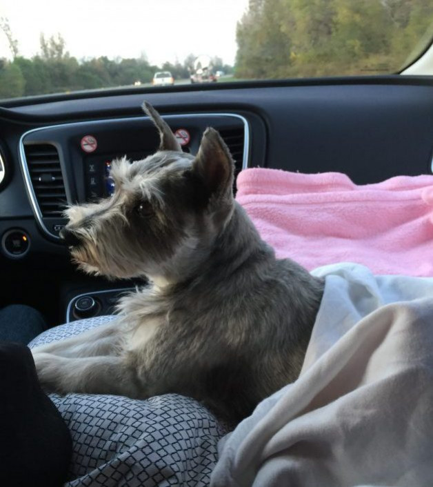 Ellie the schnauzer in the car amidst many blankets