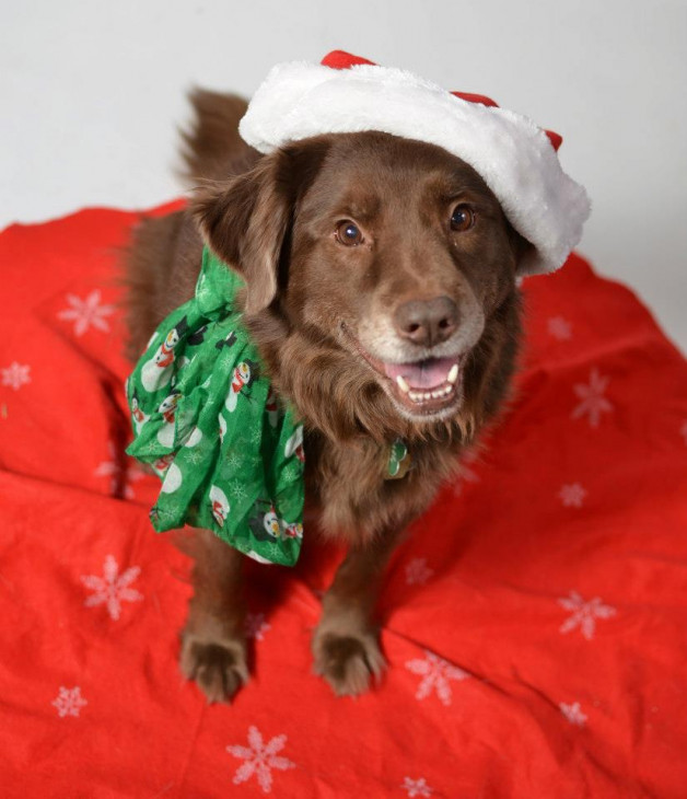 Cymry, an Aussie-mix dog dressed up for the holidays