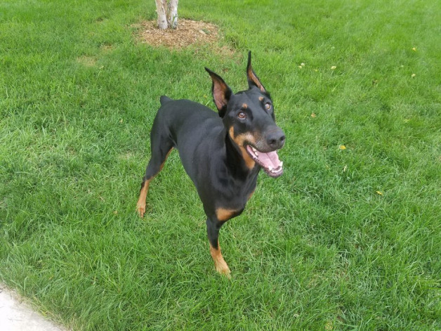 George Lee Darvish, a doberman pinscher in the grass