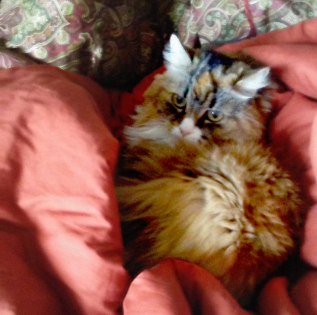 Babbette snuggled into blankets (long hair cat)
