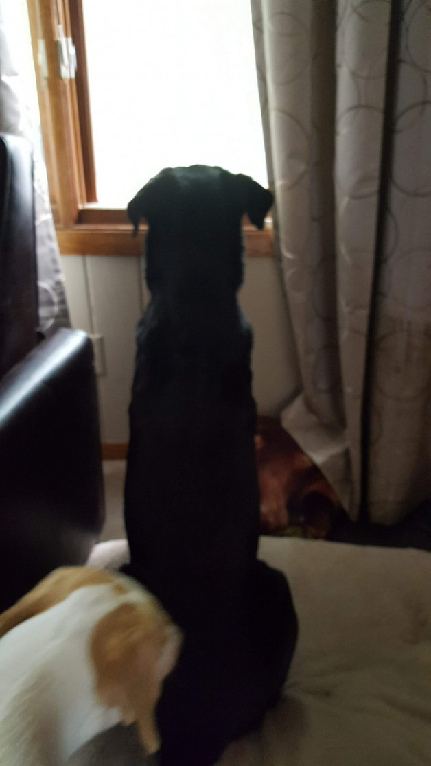 Jake on hind legs looking out the window