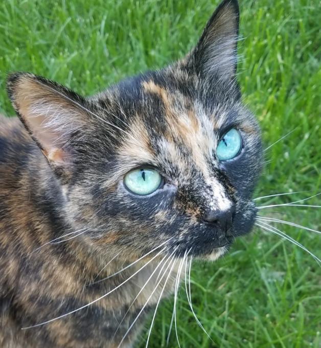 Piggie-Pie enjoying the outdoors - the tortoiseshell cat
