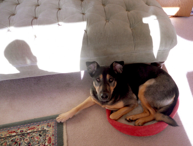 Sophie the dog looking up from her dog bed
