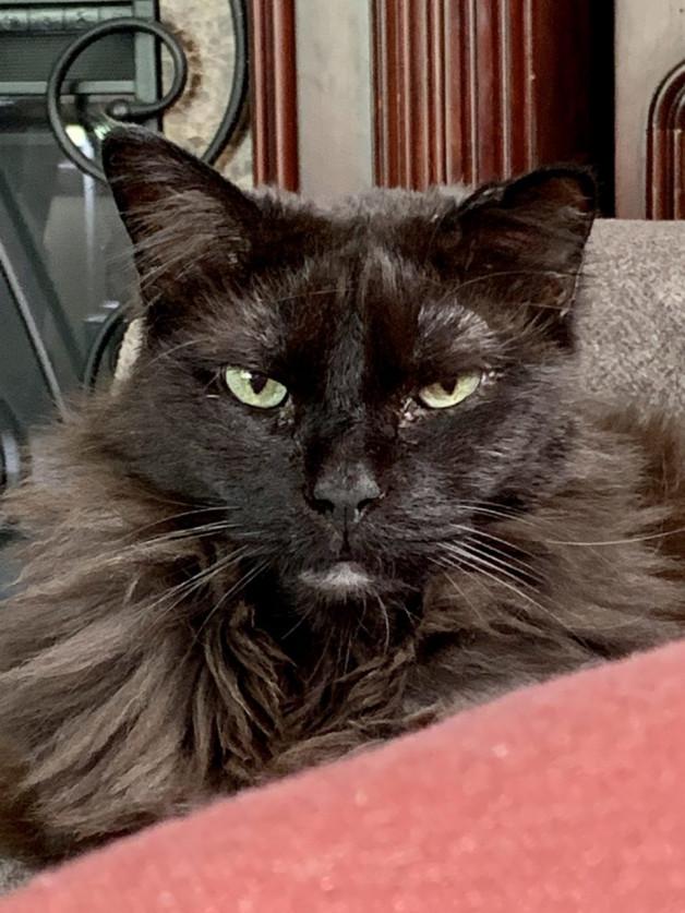Steve - long hair black cat looking contemplative