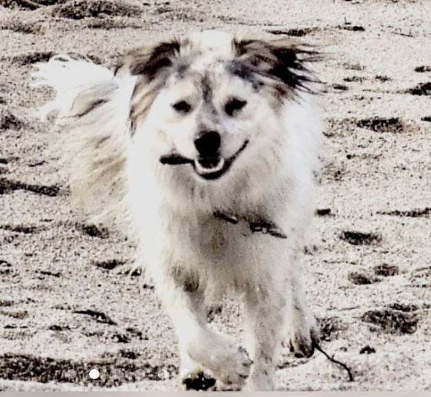 Lucy woo, white and black dog running in sand
