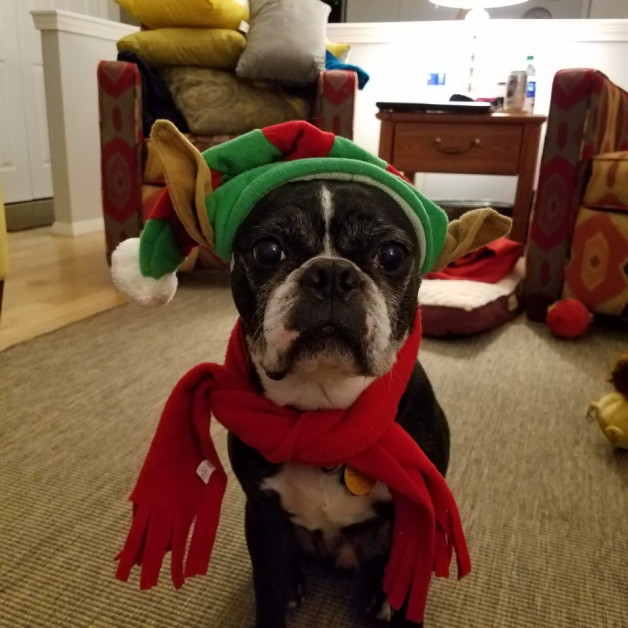 Buster - dog in Christmas elf-ear hat