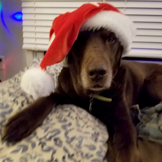 Timmy - choc lab with Santa hat