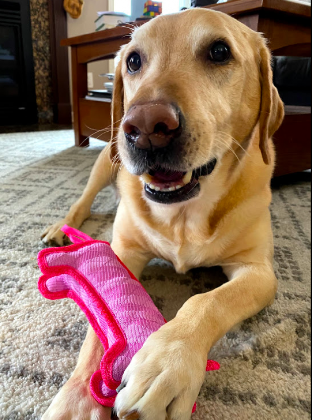 Bo the Labrador with a favorite toy