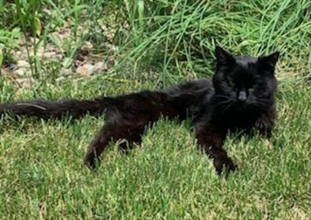 Velvet, black cat enjoying the grass