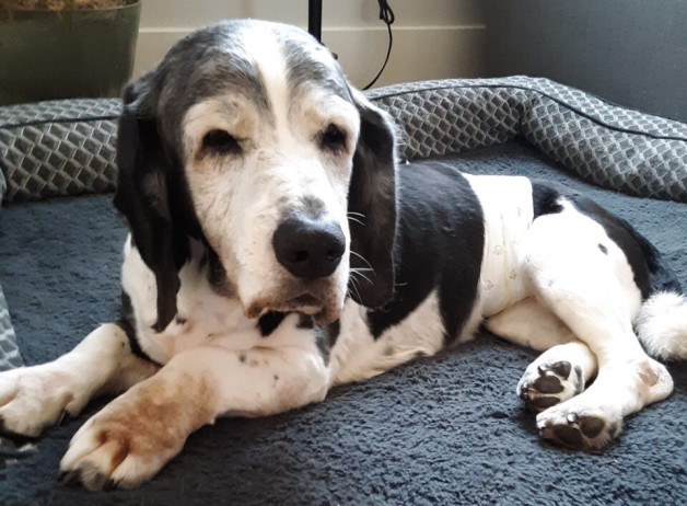 George - aged basset mix (in a diaper)
