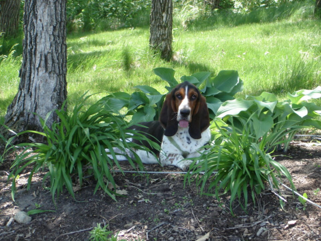 Tara basset hound on a wooded hillside