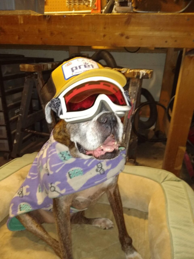 Zoey the boxer in googles and hat