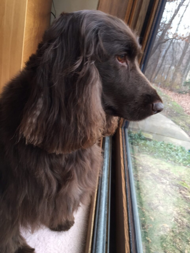 Skye - brown spaniel