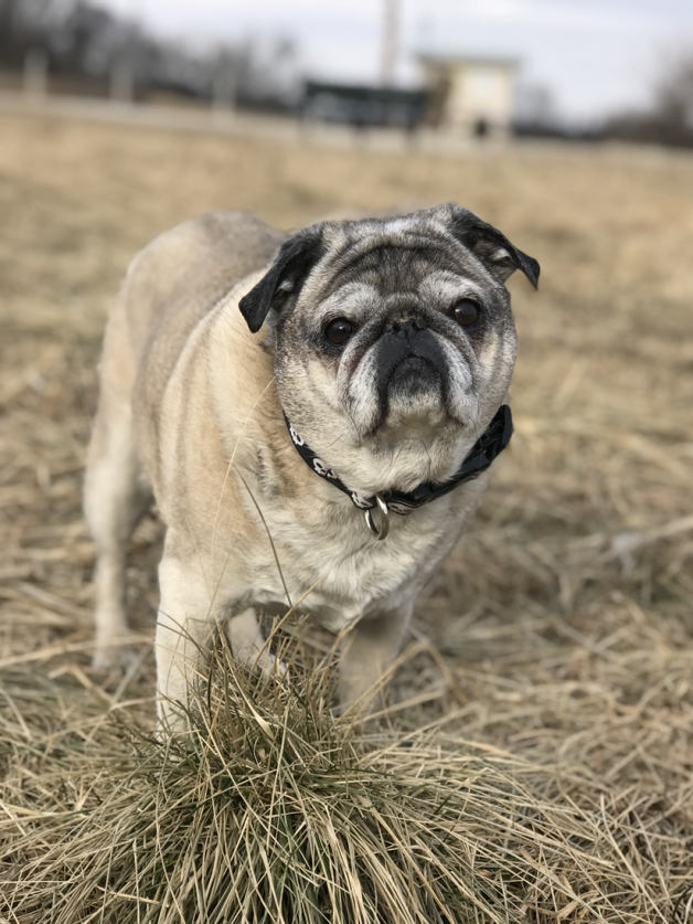 Pug in brown grass field - Ernie