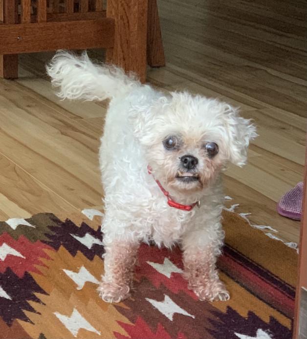 white poodle named Oatmeal