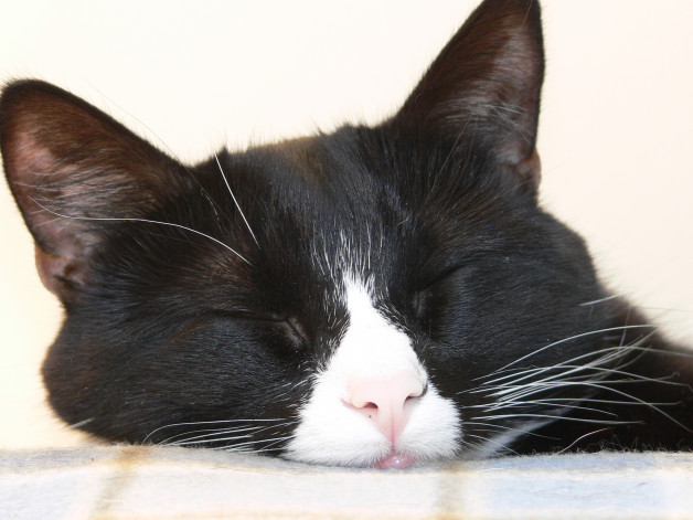 Tuxedo cat sleeping