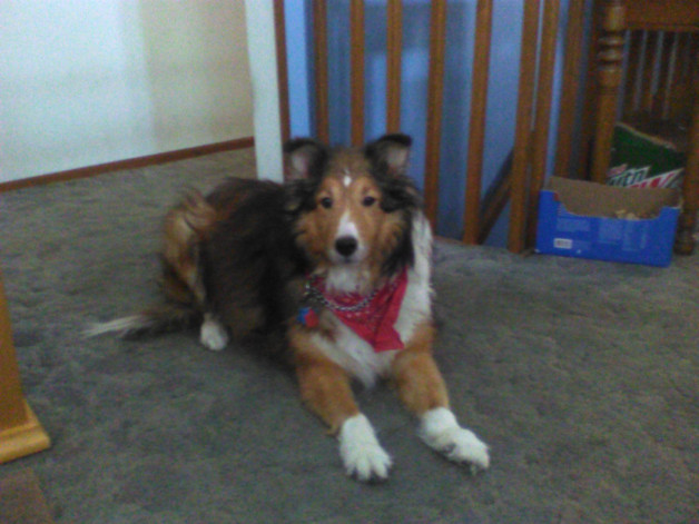 Collie with red bandana - Harley from Madison