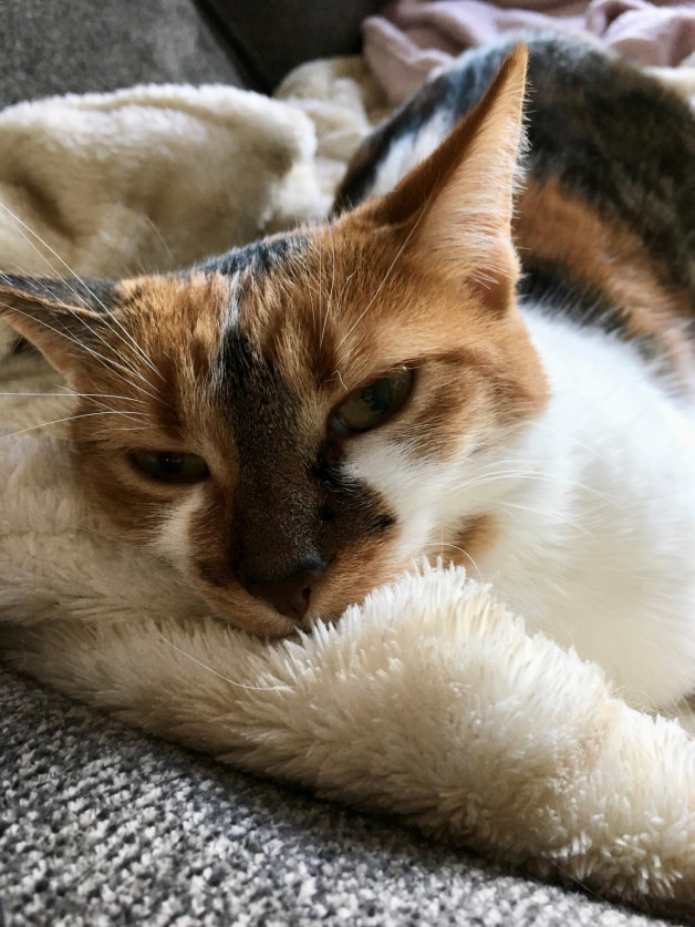 Calico cat snuggled into blankets