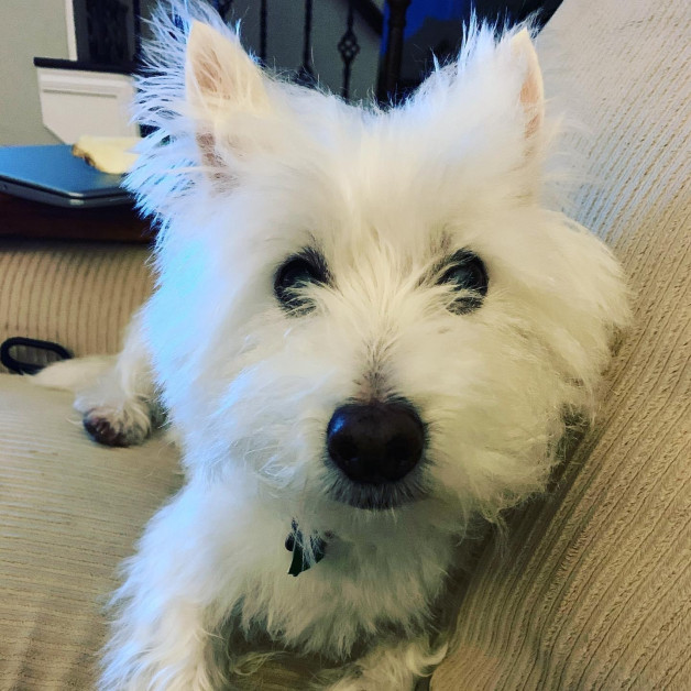 small white terrier, Oliver