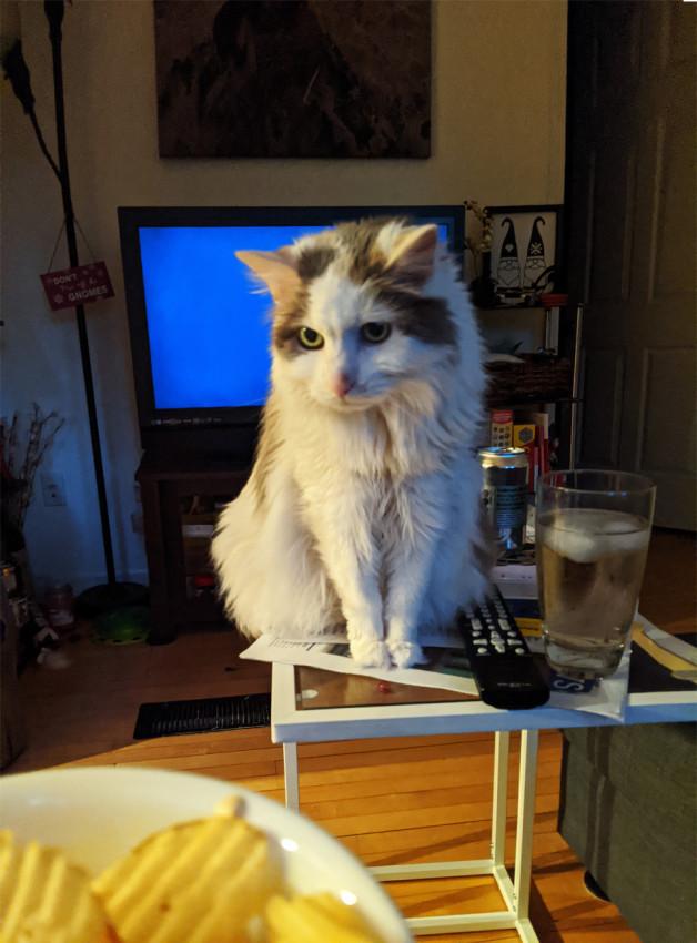 Cat looking longingly at potato chips - Olivia