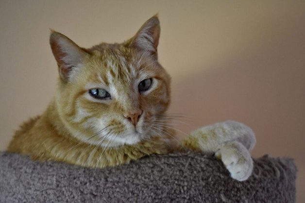 orange tabby cat - Jones