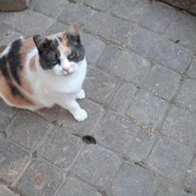 Calico cat with vole prey