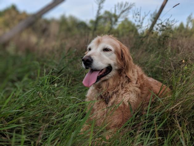 happy dog in grass - Sweet Ruby Ann