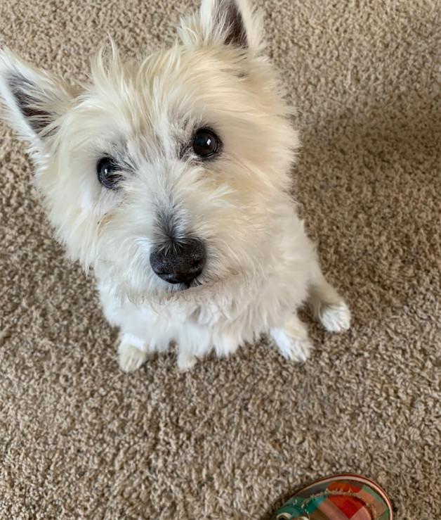 Terrier looking up and sweet (Hannah from Madison)