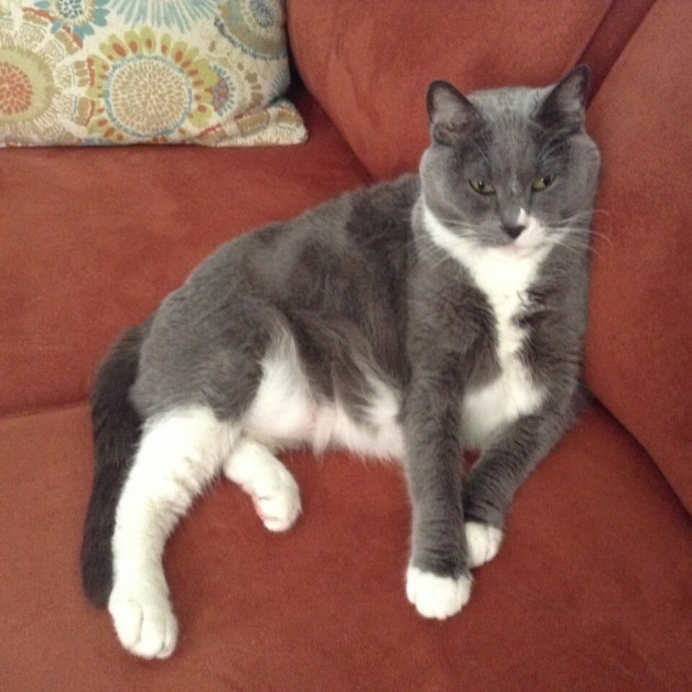 Gray tuxedo cat snuggled in couch (Bert from Madison)