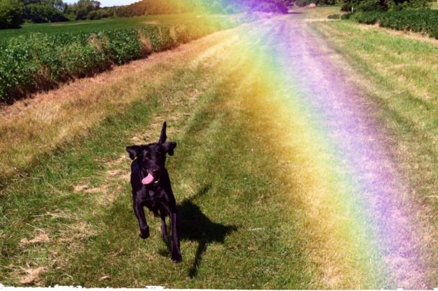 running black dog with rainbow (memory)