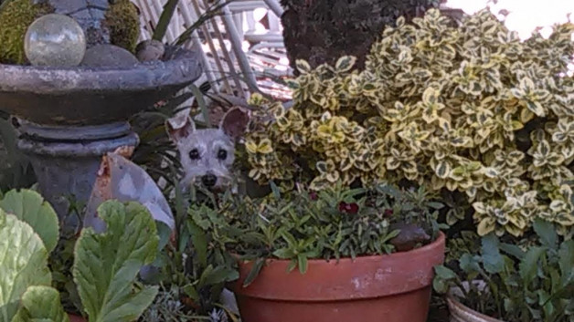 Miniature Schnauzer playing hide and seek (Lily)