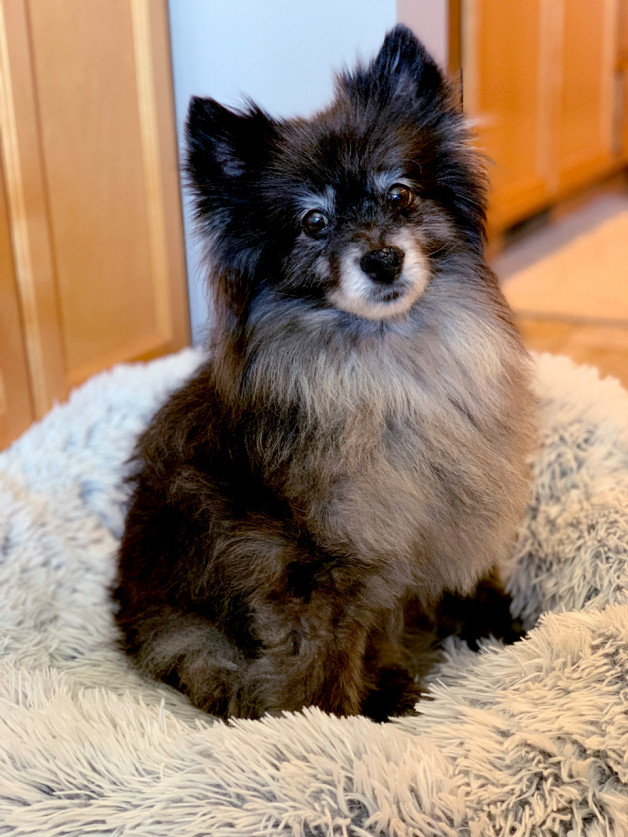 Small dog sitting on shag rug (Enzo)