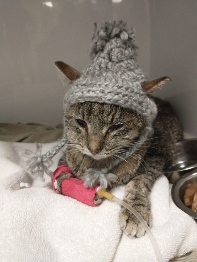 tabby cat in a knitted hat gettig IV